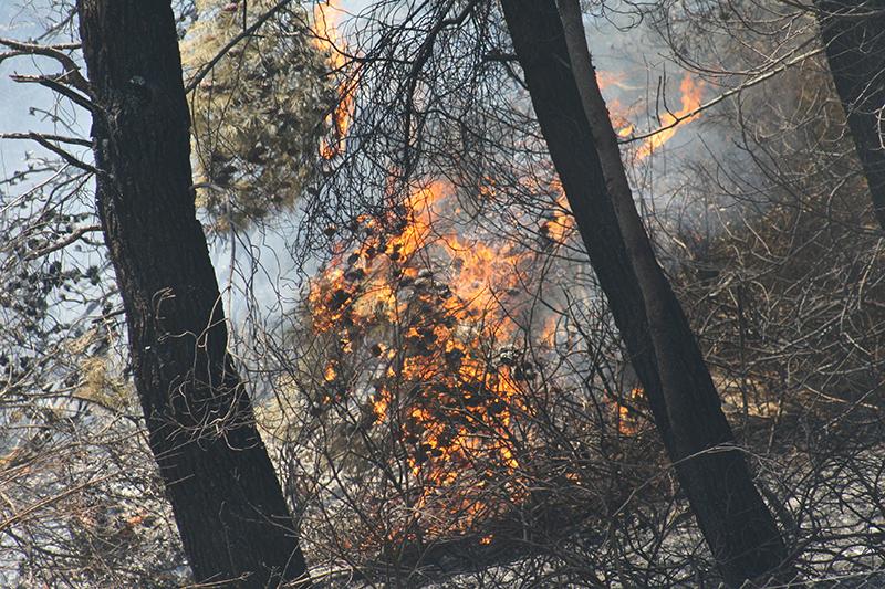 Le fiamme propagate dal vento passano in pochi secondi da un albero all'altro